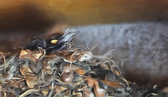 Baby Swallows? 173/366 (Jo-Cooling To 80's :)) Tags: birds babies mud nest feathers straw adults swallows livestyle day173366 366the2016edition 3662016 21jun16