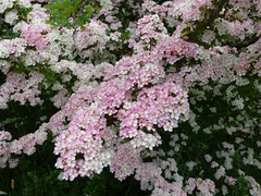 Fading to pink (Lexie's Mum) Tags: dog nature walking countryside blossom may flowering lester hawthorn wak weddington