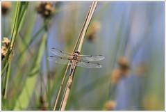 Vierfleck (Libellula quadrimaculata) (Maggi_94) Tags: male dragonfly libelle libellulidae libellen mnnchen libellulaquadrimaculata vierfleck segellibellen segellibelle