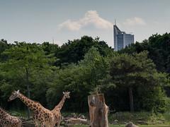 SPLINSON's Pixelwurst (spline_splinson) Tags: animal germany giraffe leipzig saxony tier uniriese zoo zooleipzig sachsen deutschland de