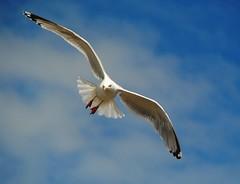 Guten Abend (   flickrsprotte  ) Tags: gulls mwen kielerwoche flickrsprotte