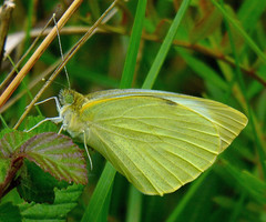 Pieris brassicae (Large White) (TPittaway) Tags: spain butterflies catalonia lepidoptera llers largewhite pieridae pierisbrassicae tonypittaway may2016