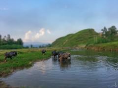 The Mini - Maini - Swabi- KPK (zai Qtr) Tags: pakistan sky cloud mountain green nature water cattle samsung s3 pound 2014 swabi kpk maini maradu