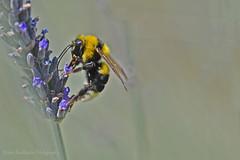 Here's to the photographer (Nikos Roditakis) Tags: flowers macro insect nikon lavender nikos bumblebee sp di af tamron 90mm vc f28 usd whitetailed bombus hymenoptera apidae pollinators lucorum d5200 roditakis