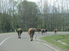 Cattle on the highway, Peter highland, Serbia (Paul McClure DC) Tags: animals cow cattle serbia balkans srbija zlatibor peter may2016