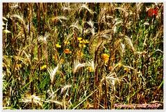 Variations sur les bls 01 (voyageursdumonde1) Tags: nature fleurs bl crales salaisesursanne france2016