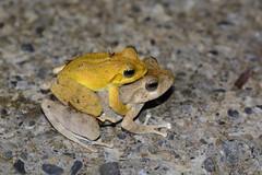 Japanese Buerger's Frog (Bob Hawley) Tags: nature animals asia nocturnal wildlife taiwan kaohsiung amphibians creatures treefrogs herpetology baolai tokina100f28 buergeriajaponica nikond7100 japanesebuergersfrog xiaoguanshanforestroad