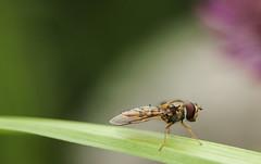 Hoverfly (gelein.zaamslag) Tags: holland macro nature netherlands fauna insect nederland natuur insects zeeland hoverfly insecten zeeuwsvlaanderen zweefvlieg zaamslag geleinjansen