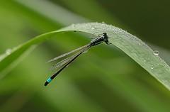 Lantaarntje - Ischnura elegans (By Yves) Tags: 100mm damselfy waterjuffers