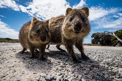 Curious Twins (Tiomax80) Tags: up bike closeup island twins nikon tour close angle rott wildlife wide twin australia wideangle perth western wa curious uga nikkor upclose curiosity westernaustralia rottnestisland rottnest quokka 18mm uwa quokkas tiomax