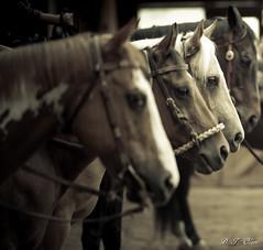 Show day-38 (Webbed Foot Photo) Tags: horses horse pennsylvania ponycamp webbedfootphotography pentaxk1 opengateranch darrenolsen dtolsen webbedfootphoto hunterhillsfarm