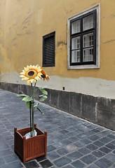 Street Decor (Esther Spektor - Thanks for 11+ millions views..) Tags: street flowers window wall canon design pavement artificial pot sunflower decor estherspektor