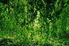 Buche in Hiltrup - 2016 - 0015_Web (berni.radke) Tags: tree giant baum beech mnster buche colossus riese hiltrup
