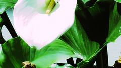 Calla Lily (LANE5530) Tags: flowers plants lily calla