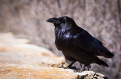 What the Raven Knows (Bengal Thrush) Tags: bird az arizona grandcanyon grandcanyonnationalpark aba usa raven corvuscorax ccorax cute intelligent bokeh corvid corvidae