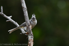 What are you lookin' at? (dbifulco) Tags: bird nature yard newjersey wildlife flight juvenile tuti tuftedtitmouse rubythroatedhummingbird fliying rthu nikkor300f4pfed