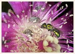 Bee and Friends, Chain Fruit Cholla Cactus Flower (gauchocat) Tags: arizonasonoradesertmuseum tucsonarizona