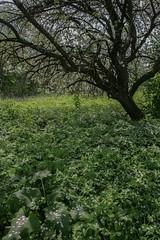 Abandoned garden in spring-3 (algimantas_tirlikas) Tags: chimney tree landscape spring may pipeline rafinery
