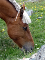 P1000244 (Franois Magne) Tags: cheval libert poulain jument blond blonde bai frange montagne etang lanoux estany de lanos lac pyrnes
