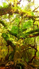 Carpal trunk digital branching nestling grip the fairies are dancing (bjeffersonimages) Tags: oak nest flood live fairy sarasota myakka swam