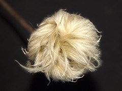Clematis seed head (Nick_Fisher) Tags: clematis nickfisher stack helicon macro