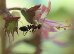 Ant on Tulsi Flower (Curlylocks) Tags: insect ant flower tulsi bug macro closeup nature basil holybasil