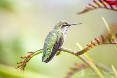 IMG_0405_edit_resized_wm (Lisa Snow Photography) Tags: hummingbird