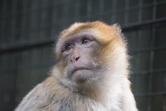 Looking into the distance (WarmYeti) Tags: nature animal outside outdoors zoo monkey scotland edinburgh edinburghzoo
