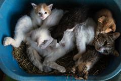 CATS (Luigi Rossini) Tags: italy cats animal gatti animali cuccioli gattini piccoli