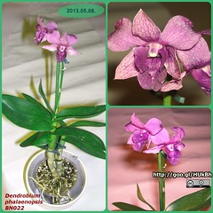 BN022-dendrobium-phalaenopsis-2013-05-08-m (BerczikAndrea) Tags: flowers plants plant orchid flower green purple houseplant lila bloom virg houseplants indoorplant folia zld 2013 ccby bloomingplant dendrobiumphalaenopsis szobanvny