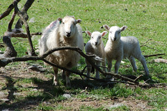 24 sheep family (Vertigogen) Tags: wales sheep lambs berwyn llangollen denbighshire velvethill may2013