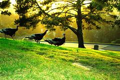 Turkeys at Mountain View Cemetery, Oakland, CA. Cinco De Mayo. (charlesmonroe98) Tags: california ca oakland bay nikon east d5000