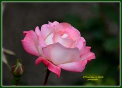 Pink rose (Pepe (ADM)) Tags: pink flowers flores nature rose ngc flor fiori pinkrose fleure mygearandmepremium rememberthatmomentlevel1