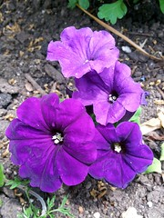 Purple Petunias (Scott Szakonyi) Tags: flower purple smartphone petunia flickrandroidapp:filter=none