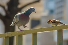 Pigeon and sparrow eating piece of bread (DigiDreamGrafix.com) Tags: road city urban black blur bird nature animal bread town focus eating pigeon dove wildlife group beak feather rail relationship sparrow roll feed loaf pick piece peck ornithology bitumen breadstick blacktop plume whitebread