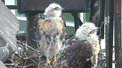 synchronized siblings (Cornell Lab of Ornithology) Tags: bird nest cams cornell redtailedhawk nestlings labofornithology cornelllabofornithology