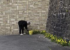 Unkraut entfenen (kohlmann.sascha) Tags: street people woman plant flower building nature wall de deutschland wand natur pflanze streetphotography menschen frau blume wuppertal gebude nordrheinwestfalen mauer mensch lwenzahn eimer gefss handlung jten natursteinmauer streetfotografie strasenfotografie straenfotografie gebude lwenzahn wuppertalapril2013 gefss jten ilobsterit