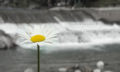 Mayweed Chamomile ! (udaybarwal8) Tags: blackandwhite white flower colour water yellow river himachal chamomile mayweed barot udaybarwal8