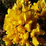 Ulex europaeus thumbnail