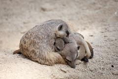 2013-07-11-14h24m29.272P9057 (A.J. Haverkamp) Tags: germany zoo meerkat stuttgart wilhelma stokstaartje dierentuin canonef100400mmf4556lisusmlens httpwwwwilhelmade