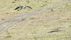 DSC_8265 (H Sinica) Tags: safari vulture masaimara maraboustork maasaimara