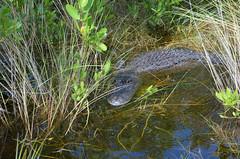 Everglades (svendoehler) Tags: usa florida alligator swamp everglades naples