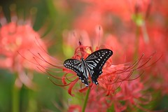 Lycoris radiata #3 (to the dream) Tags: flowers red flower nature japan butterfly tokyo nikon september   70300mm     d800e