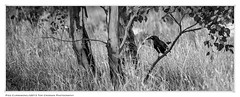 Pied Currawong. 2013 Tom Crossan Photography (Tom Crossan Photography) Tags: bird australia canberra currawong australianbird piedcurrawong australianbush sigma50500mmlens canberrabirds tomcrossan nikond800 tomcrossanphotography