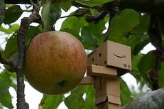 Danbo Goes Scrumping (Kotatsu Neko 808) Tags: apple fruit toy amazon cardboard figure cardboardbox yotsubato danbo amazoncojp scrumping  danboard  sel35f18