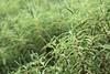 bokeh in green (benjamin vitamin) Tags: newzealand green bokeh wellington aotearoa zealandia koromiko tewhanganuiatara leaveslines hebestricta asahipentaxsupertakumar135mmf35 hebestrictavaratkinsonii