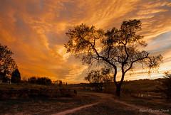 L'arbre de les set llenges de foc. (Gelsauc) Tags: orange sun contraluz landscape paisaje puestadesol paysage arbre paisatge contrallum postadesol soleilcouchant nikond700