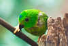 Blue-crowned Hanging-Parrot (m_hamad) Tags: park usa bird nature beauty birds canon zoo dc farm wildlife parrot explore nationalzoo nationalgeographic greatnature naturebeauty supershot bluecrownedhangingparrot 60d ultimateshot dazzlingshot blinkagain