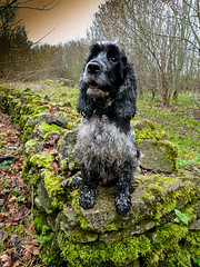 Sunday's Walk (Photo Gal 2009) Tags: blackandwhite woodland moss woods otis walk sunday cockerspaniel blackandwhitedog wetdog greenmoss blueroan englishcockerspaniel sundayswalk woodlandwalk bristolwoods blueroancockerspaniel britishmoss woodlandmoss cockerboy walkwet showtypecockerspaniel