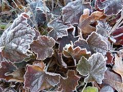Purpurglckchen gefroren (dortheHet) Tags: autumn winter germany frost herbst covered tau blatt nordrheinwestfalen rasen gefroren autumne herbstimpressionen purpurglckchen frostcovered wiegezuckert blattmitzuckerrand dortheklaar